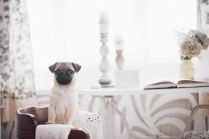 pug puppy staat en kijkt naar de camera foto