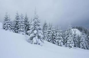 schilderachtige afbeelding van sparren boom. ijzige dag, kalm winters tafereel. locatie karpaten, oekraïne europa. skigebied. geweldige foto van wild gebied. ontdek de schoonheid van de aarde. toeristisch concept. gelukkig nieuwjaar