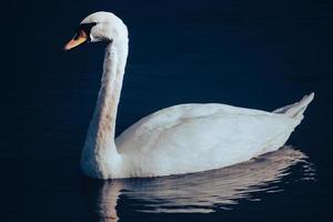 witte zwaan op een achtergrond van glad water foto
