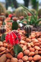 kleurrijke cactus, close-up beeld van rijen schattige kleurrijke miniatuurcactus foto