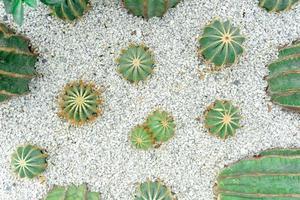 bovenaanzicht cactus op witte kleine steen foto