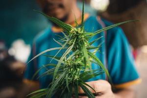 cannabis sativa plant die buiten groeit foto