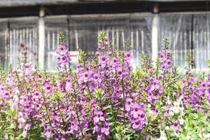 paarse bloemen achter het huis foto