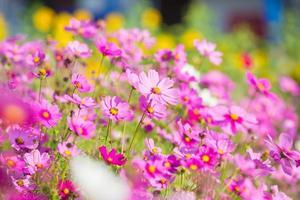 kosmosbloemen in de tuin foto