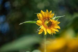 een gele zonnebloem in volle bloei in het veld foto