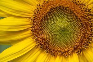 close-up van bloeiende gele zonnebloemen foto