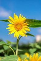 een gele zonnebloem in volle bloei onder de blauwe lucht foto