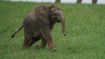 Afrikaanse bush olifant foto