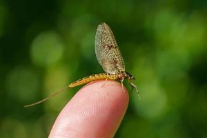 close-up van een eendagsvlieg die op mijn vinger zit foto