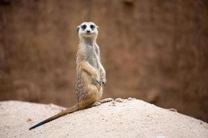 schattige stokstaartje suricata suricatta foto