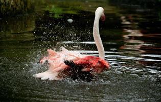 grotere flamingo phoenicopterus roseus in de rivier foto