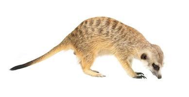 schattig stokstaartje suricata suricatta geïsoleerd foto