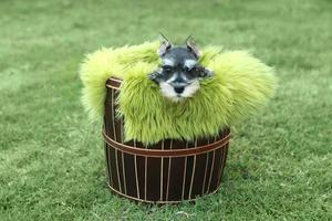 Dwergschnauzer puppy buiten foto