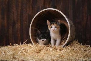 schattige schattige kittens in een schuur met hooi foto
