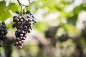 druivenoogst boerderij foto