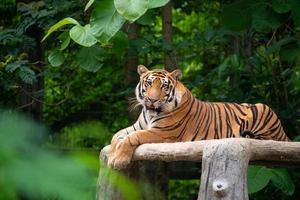 Bengaalse tijger ligt foto