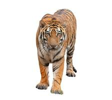 Bengaalse tijger geïsoleerd foto