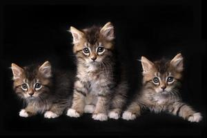 drie schattige maincoon-katjes met grote ogen foto