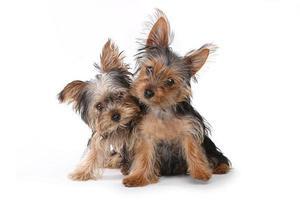 yorkshire terrier puppy's zittend op een witte achtergrond foto