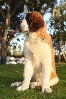 schattige sint bernard rasechte puppy foto