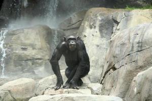 chimpansee op de rotsen foto