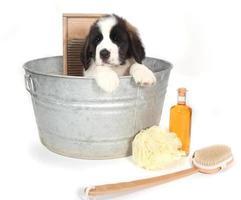 sint bernard puppy in een wastobbe om in bad te gaan foto