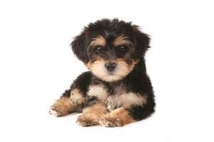 kleine miniatuur theekopje yorkie puppy op witte achtergrond foto