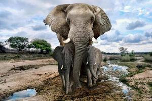 wilde afbeeldingen van Afrikaanse olifanten in Afrika foto