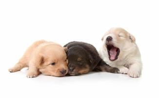 gapende knuffelige pasgeboren puppy's foto