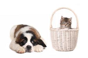 schattige sint bernard puppy kijken naar kitten in een mand foto