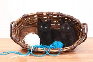 nieuwsgierige kittens in een mand op wit foto