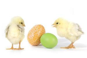 afbeelding met babykuikens en eieren foto