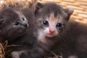 pasgeboren kitten in een mand foto