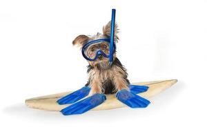 yorkshire terrier met strandthema foto
