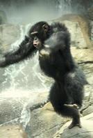 wild springende chimpansee foto
