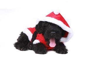 schattige zwarte Russische terriër puppy hondje als santa op witte achtergrond foto