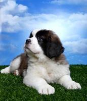 schattige sint-bernard-pups foto