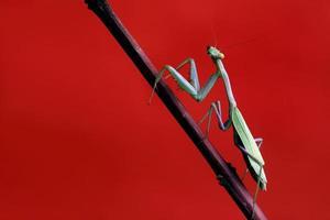 groene bidsprinkhaan op rood foto