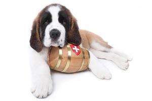 een sint bernard puppy met reddingston om de nek foto