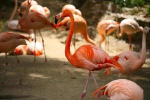 oranje flamingo's buiten foto