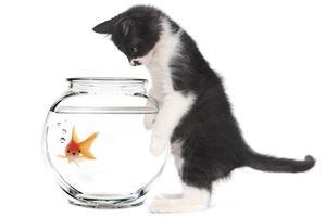kitten kijken naar goudvis in een kom foto
