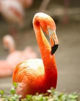 oranje flamigo buiten foto