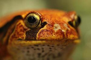 tomaat kikker dyscophus guineti close-up van het gezicht foto
