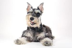 schattige miniatuur schnauzer puppy hondje op witte achtergrond foto
