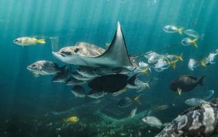 levende adelaarsrog en kleine vissengroep die in de aquariumtank zwemmen. foto