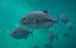 live jacks of trevallies vissen zwemmen. foto