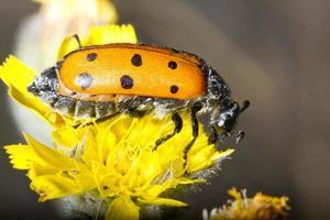lachnaia sexpunctata insect foto