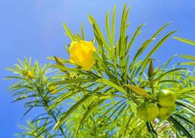gele oleanderbloem op boom met blauwe lucht in mexico foto