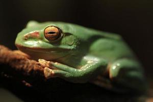 close-up van een Chinese glijdende kikker met gesloten ogen foto
