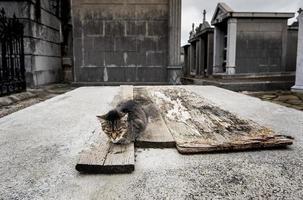 grommende kat op een kerkhof foto